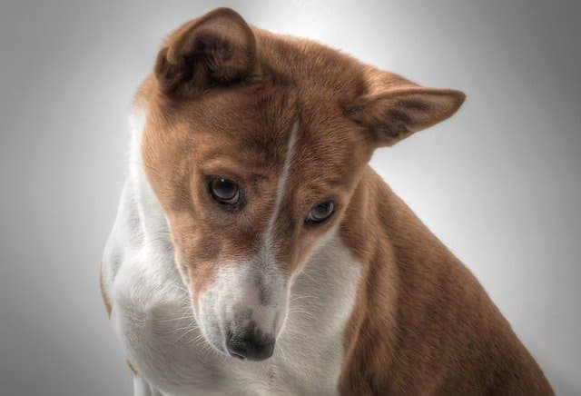 Basenji Dog Names for Male and Female Puppies