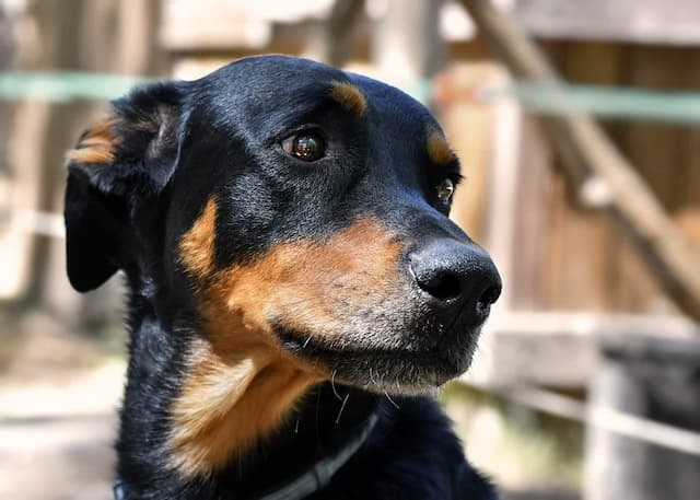 Beauceron Dog Names for Male and Female Puppies