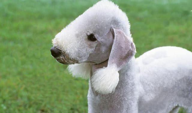 Bedlington Terrier Dog Names for Male and Female Puppies