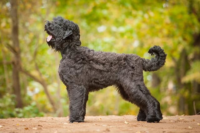 Black Russian Terrier Dog Names for Male and Female Puppies