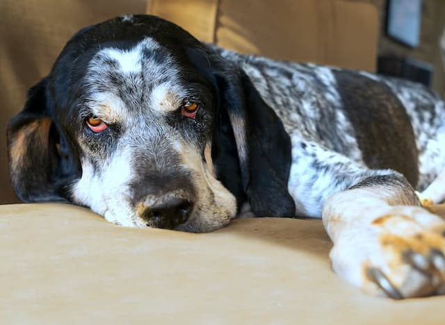 Bluetick Coohound Dog Names for Male and Female Puppies