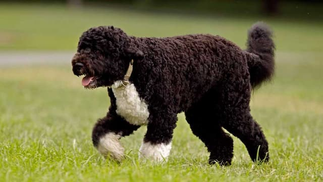 Cute Names for Portuguese Dogs