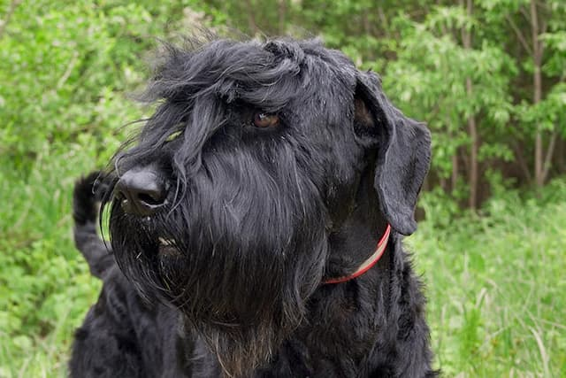 Exotic Dog Names for Black Russian Terriers
