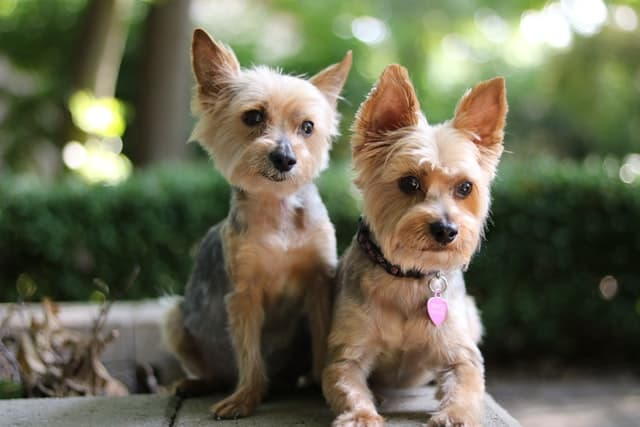 Exotic Yorkie Dog Names for Male and Female Puppies