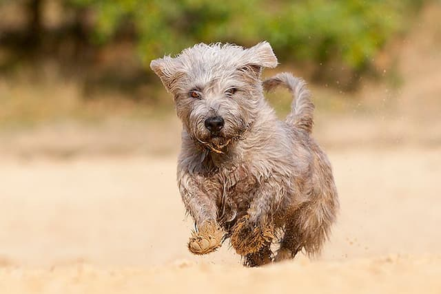 Female Glen of Imaal Terrier Names