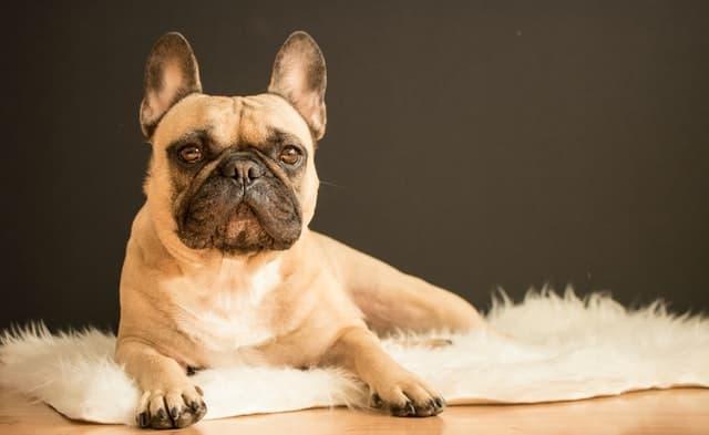 Funny French Bulldog Names Girl