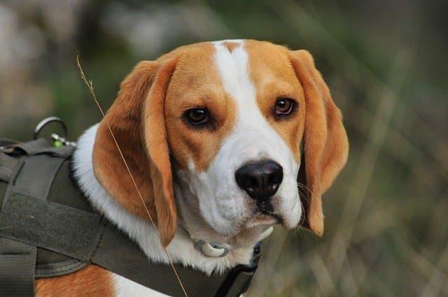Girl Hunting Dog Names for Beagles