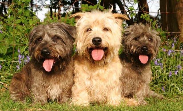 Glen of Imaal Terrier Dog Names