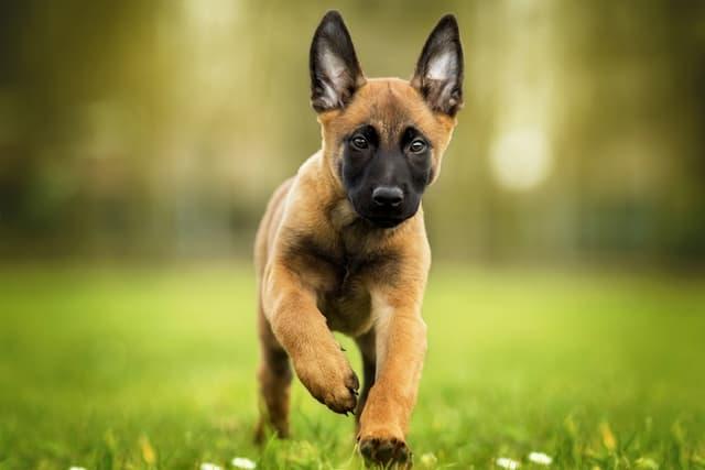 Malinois (Belgian Shepherd Dog) Names