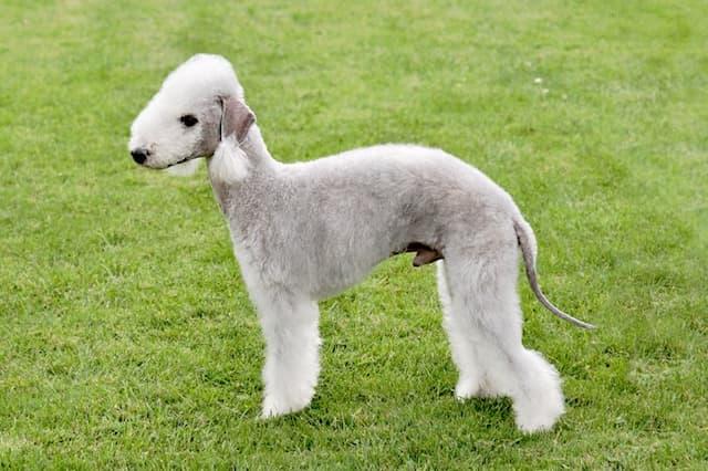 Popular Bedlington Terrier Names