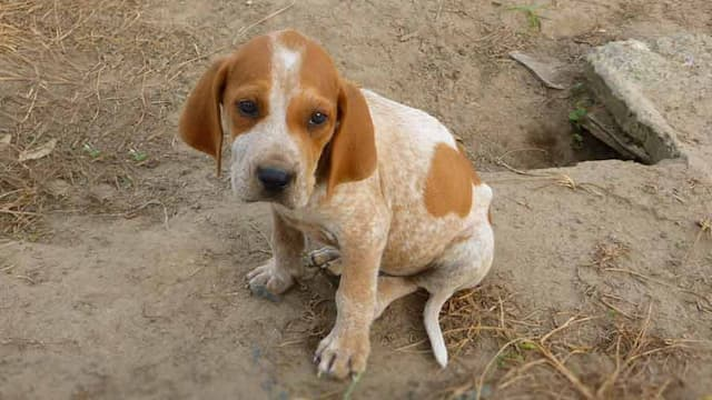 Treeing Walker Coonhound Female Names