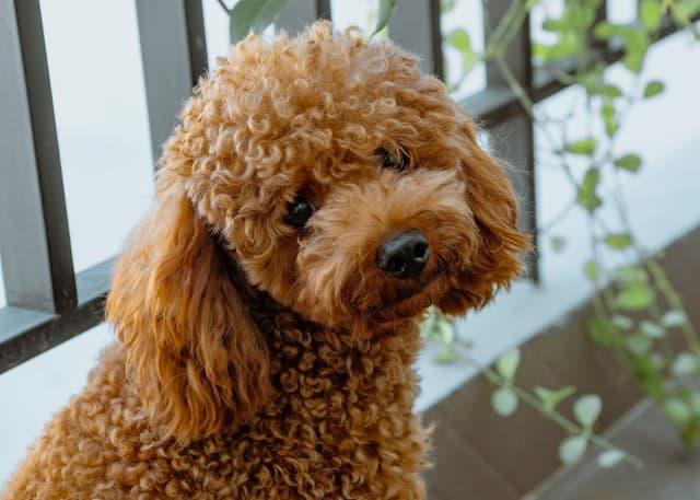 Unusual Poodle Names