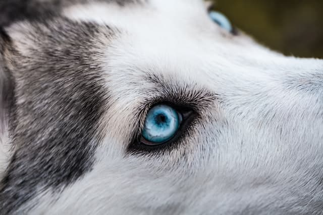 White Wolf with Blue Eyes Name