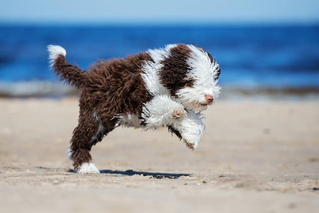 names for a spanish water dog