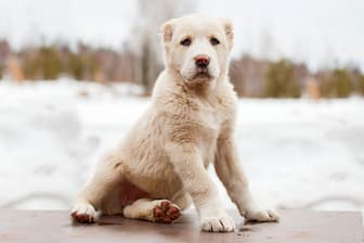 Aziat Dog Names for Male Dogs