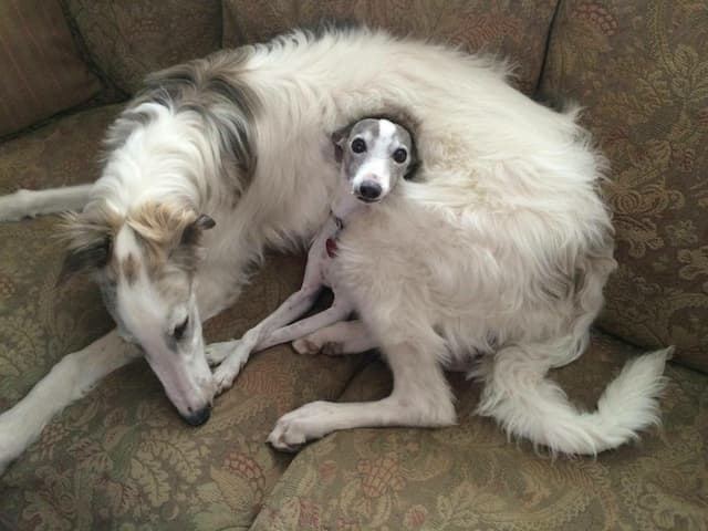 Borzoi Dog Names for Male and Female Puppies