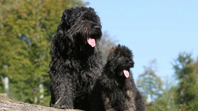 Bouvier des Flandres Dog Names for Male and Female Puppies