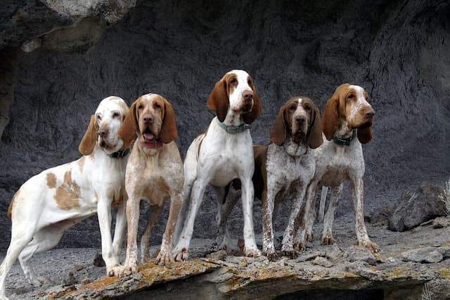 Bracco Italiano Dog Names for Male and Female Puppies