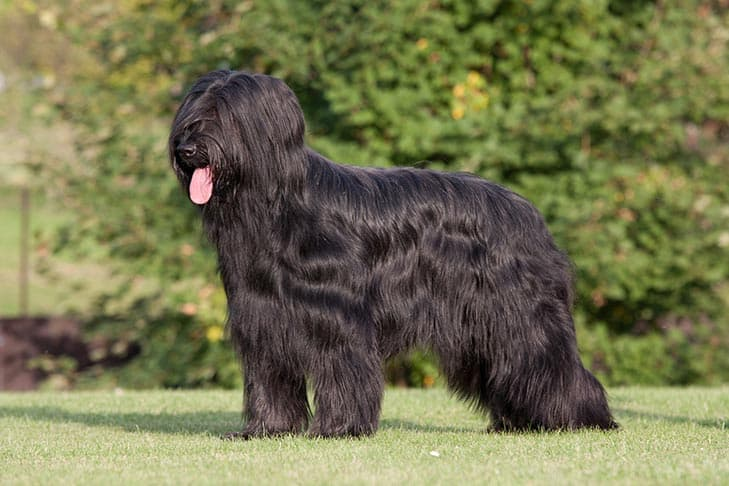 Briard Dog Names for Male and Female Puppies