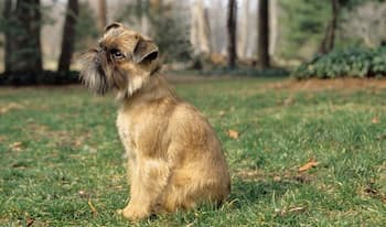 Brussels Griffon Dog Names for Male and Female Puppies