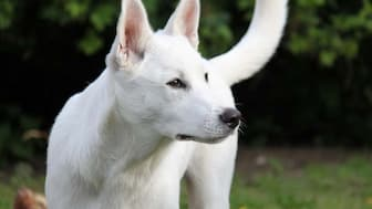 Canaan Dog Names for Male and Female Puppies