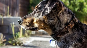 Catahoula Leopard Dog Names for Male and Female Puppies