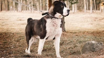 Central Asian Shepherd Dog Names for Rescue Dogs