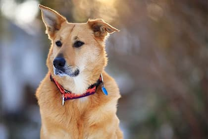 Chinook Dog Names for Male and Female Puppies