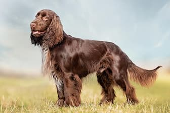 Cool Field Spaniel Puppy Names