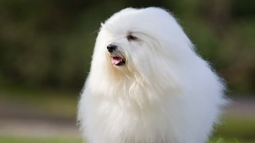 Coton de Tulear Dog Names for Male and Female Puppies