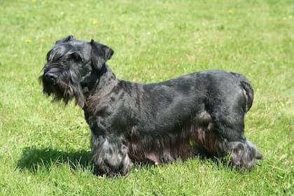 Cute Cesky Terrier Names