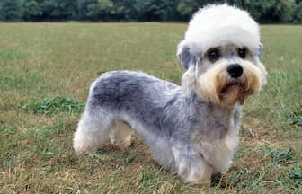 Dandie Dinmont Terrier Dog Names for Male and Female Puppies