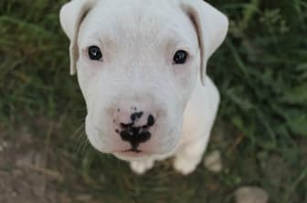 Dogo Argentino Dog Names for Male and Female Puppies