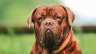 Dogue de Bordeaux Dog Names for Male and Female Puppies