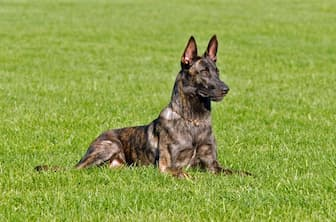 Dutch Shepherd Dog Names for Male and Female Puppies