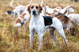 English Foxhound Dog Names for Boy and Girl Pooch