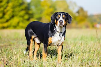 Entlebucher Mountain Dog Names for Male and Female Puppies