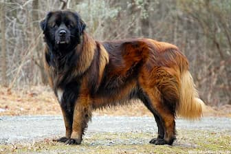 Estrela Mountain Dog Names for Male and Female Puppies