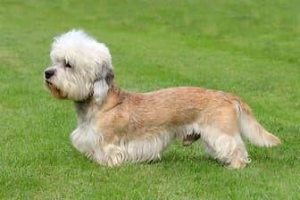 Female Dinmont Terrier Names