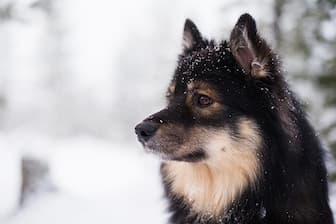 Female Finnish Lapphund Names for Dogs