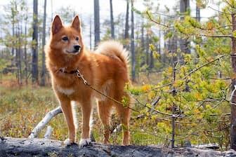 Female Finnish Spitz Names for Dogs