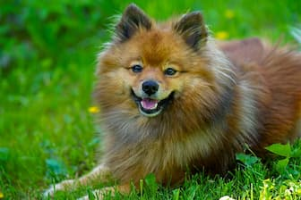 Female German Spitz Names for Dogs