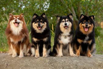 Finnish Lapphund Dog Names for Male and Female Puppies