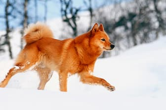 Finnish Spitz Dog Names for Male and Female Puppies