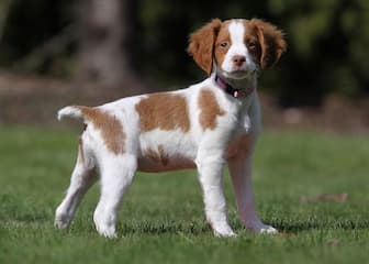 French Brittany Dog Names for Male and Female Puppies
