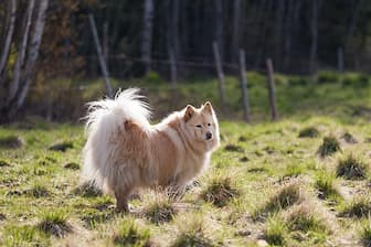 Friendly Finnish Lapphund Names for Dogs