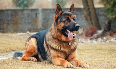 Funny German Shepherd Dog Names for Male and Female Puppies