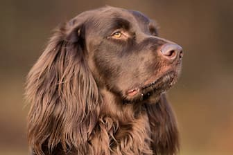 German Longhaired Pointer Names for Male and Female Dogs