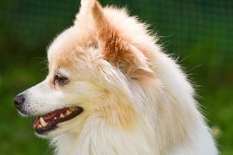German Spitz Dog Names for Male and Female Puppies