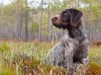 German Wirehaired Pointer Dog Names for Male and Female Puppies